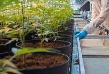 Photo of El cannabis, uno de los sectores favoritos de los españoles para invertir